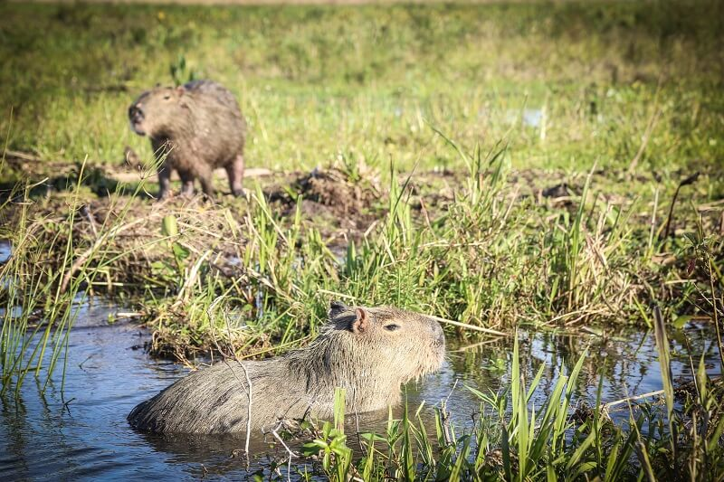Capybara at Aguape Lodge