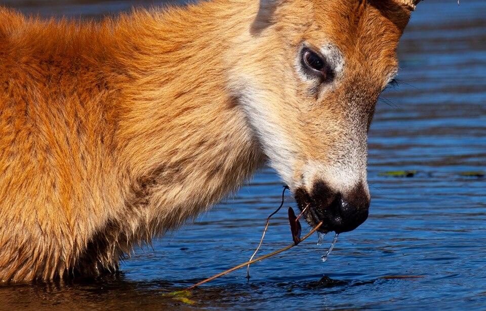 Deer at Irupe Lodge